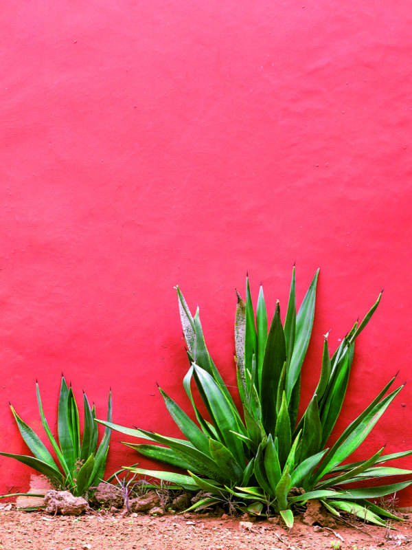 Plants on pink concept. Aloe on pink  wall.  Minimal art